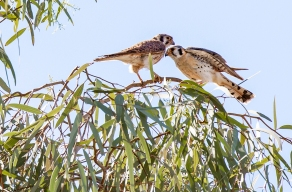 American Kestrel Breeding Pair