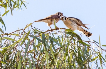 American Kestrel pair nesting in our yard